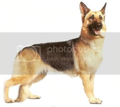 german shepperd Pictures, Images and Photos